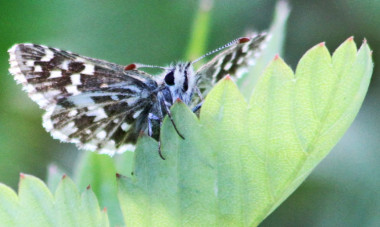灰色セセリチョウ(grizzled skipper butterfly:Pyrgus malvae)(写真:Peter von Bagh/Flickr)