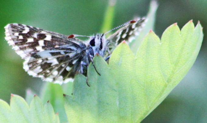 灰色セセリチョウ(grizzled skipper butterfly:Pyrgus malvae)(写真:Peter von Bagh/Flickr)