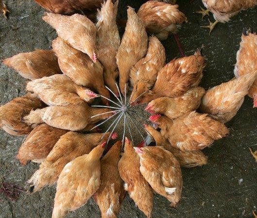鶏の餌にも抗生剤が使用される (China Photos/Getty Images)