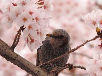 ヒヨドリと桜(蘭三郎 撮影)
