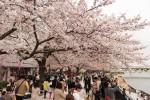 桜の名所では、花見に訪れる観光客の姿が見られる(牛彬撮影)