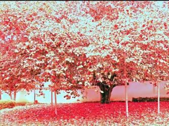樹齢300年 圀勝寺の椿(蘭三郎 撮影)