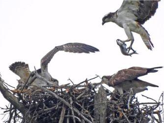 餌を巣に持ち帰った親鳥は、休むことなく次のエサを採るために飛び立ちました(蘭三郎 撮影)