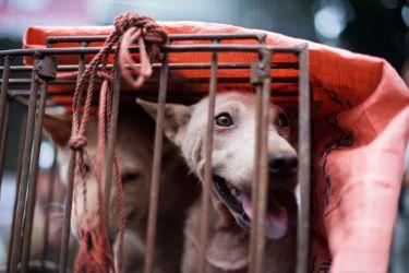狗肉節の準備のため、カゴに入れられて運搬中の食肉用の犬(JOHANNES EISELE/AFP/Getty Images)