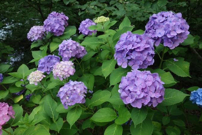 梅雨に咲き誇る紫陽花(撮影・まさ恵)