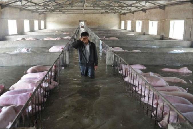 7月4日、長江流域の大洪水で水没していく安徽省舒城県にある養豚場の従業員は、避難する前に大事に育ててきた豚たちに涙の別れをしている(ネット写真)