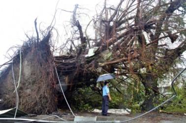7月8日早朝猛烈な台風1号が台湾を直撃した。台東専科学校内の樹齢百年以上のインド菩提樹の巨木が根こそぎ倒された(中央社)