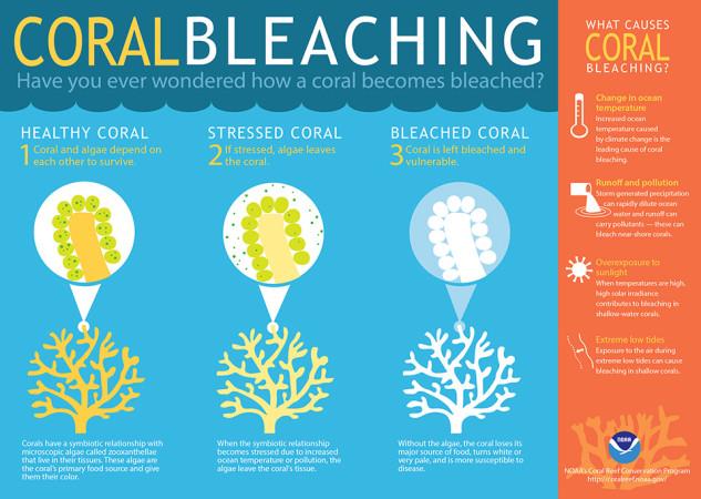 サンゴは厳しいストレスにさらされると、白化する。白くなる変化をカメラは初めてとらえた(NOAA)