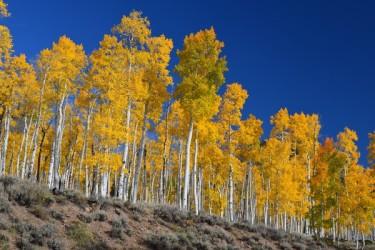 米ユタ州のフィッシュレイク国立森林公園にある、パンドと呼ばれる世界最大のポプラの森 (ウィキペディア)