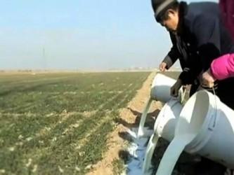 畑を肥やすために牛乳を投じているところ(ネット写真)