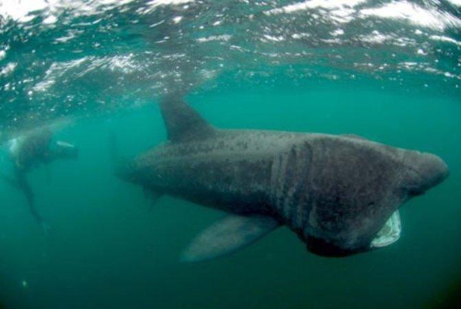カリブ海で幻の「ウバザメ」が姿...