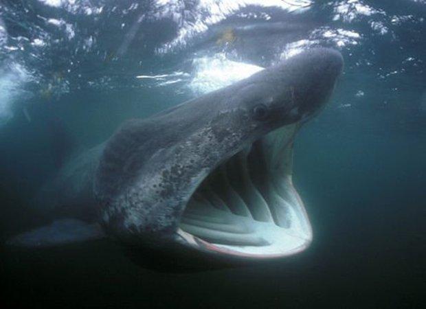 大きく口を開け摂食するウバザメ。(写真/看中国)