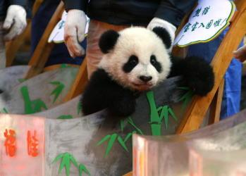 中国は1970年代から、主に同国で生息するジャイアントパンダを、日本やアメリカなど約14カ国に贈与・賃与し、「パンダ外交」を展開してきた。後にパンダが絶滅危惧種であることから、ワシントン条約により売買や贈与はできず、賃与のみとなった。情報筋によると1頭につき年間最高レンタル代は約1億円ともいわれる。賃与パンダから生まれた子どもは性成熟に達する4歳ごろに中国に返還される(Getty Images))