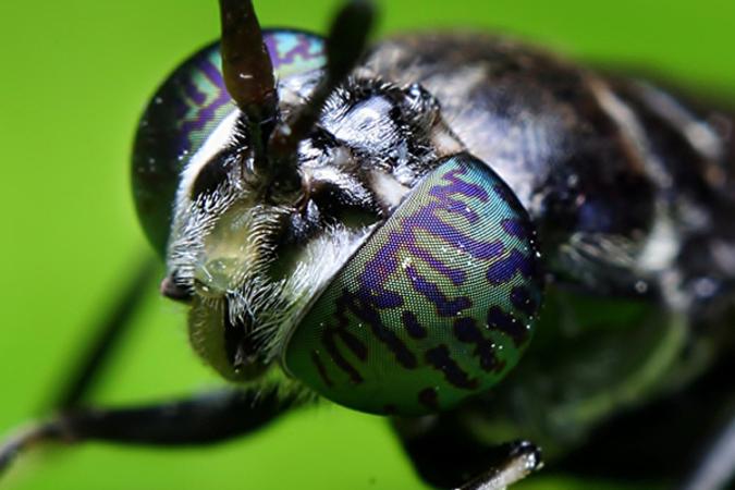 ブラック・ソルジャーと名付けられたハエは、人を刺さないし伝染病の媒体にもならず、成虫の寿命は僅か5日、最も衛生的なハエと言われている(greensoldier.fr)