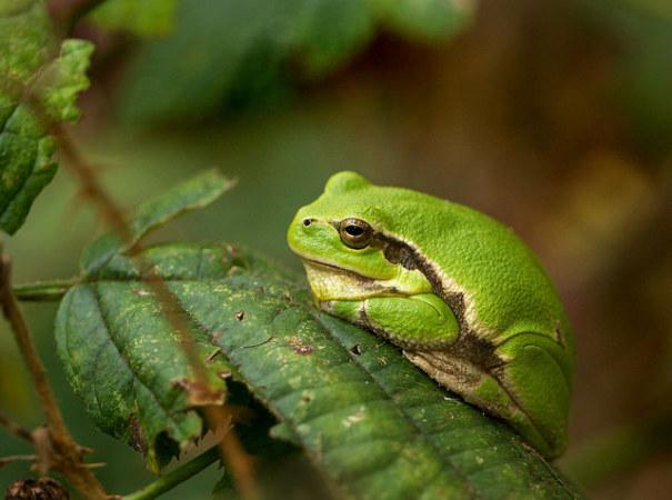 最新の研究により温暖化により草食になっていたことが明らかになった、ヨーロッパ・ツリー・フロッグ(Frank Vassen/flickr)