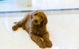トランプ政権の元、ホワイトハウスに招かれると報じられた子犬の「パットン」(Lois Pope Foundation)