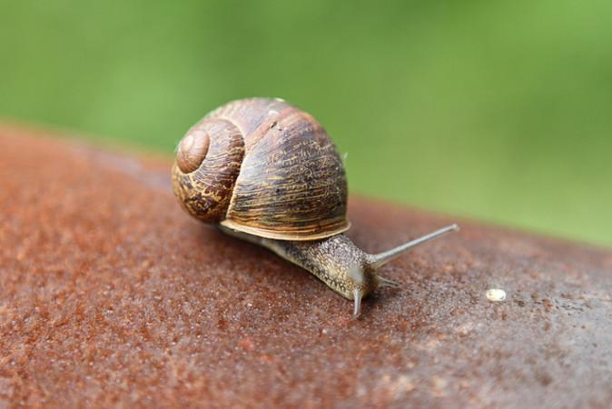 かたつむり、参考写真。記事中の該当種のかたつむりではない(Murray Stevenson/flickr)