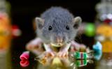 ヘビに襲われたネズミのとった行動は?参考写真(Screech Alpha/flickr)