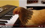 くちばしでピアノを弾くニワトリのジョグー(スクリーンショット)