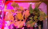 NASA によると16日、宇宙飛行士たちは国際宇宙ステーション (ISS) 内の実験として、船内で育てた「東京べか菜」という白菜の一種を収穫した(NASA)
