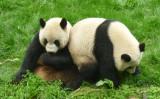 戯れるパンダたち。2011年4月、中国四川省成都で撮影。(Rick Weiss/flickr)