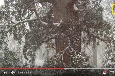 米カリフォルニア州のセコイヤ国立公園(Sequoia National Park)に立つジャイアント・セコイヤ。「プレジデント」の愛称で親しまれている(スクリーンショット)
