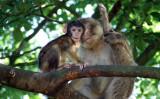 インドで、猿の群れと生活していた少女が発見されていた。参考写真(A of DooM)