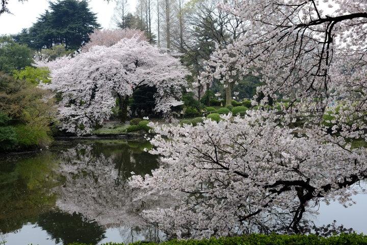 新宿御苑の桜(野上浩史 撮影)