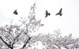 3分ニュース週間まとめ、4月17日~23日。桜咲く都内の公園の上空を舞う鳩(BEHROUZ MEHRI/AFP/Getty Images)