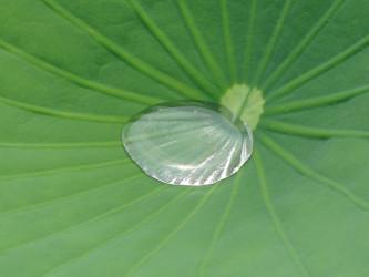 出土した宋代の蓮の種が発芽した。参考写真(Ketzirah Lesser & Art Drauglis)
