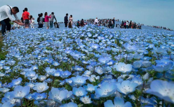 観光庁によると、2017年1月~3月期の日本人の国内消費はほぼ平年並み。ネモフィラが咲く5月のひたち海浜公園(KAZUHIRO NOGI/AFP/Getty Images)