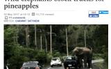 タイ、野生ゾウが「パイナップル強盗」に 果物積載トラックだけ狙う?(Bangkok Postスクリーンショット)