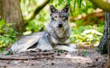 ドイツでは絶滅したと思われていたオオカミが150年ぶりに戻ってきた。ドイツのデルフェルデンにあるオオカミ公園でくつろぐオオカミ。(Morris MacMatzen/Getty Images)