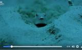 砂の上に美しい円盤のオブジェを作り上げるフグ(YouTubeスクリーンショット)