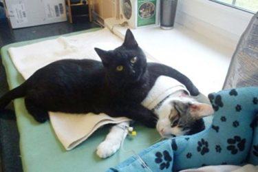 重病の猫を優しくいたわる黒猫の「ナース猫」ラドメネサくん(KimfromNorway/Imgur)