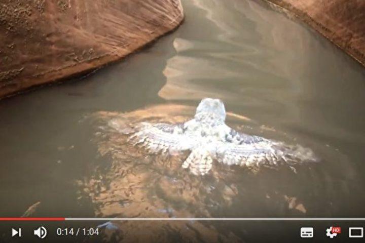 2016年、米男性が偶然に発見した泳ぐフクロウ(スクリーンショット)