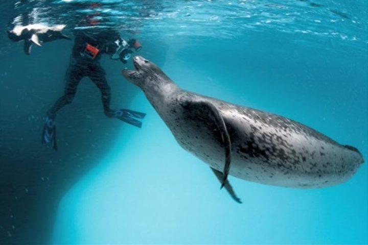 ペンギンを口から離し、カメラマンに近づくアザラシ(スクリーンショット)