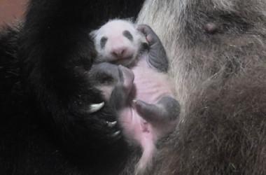 2017年6月12日に生まれたジャイアントパンダの子。7月5日撮影。名前はまだついていない(東京都恩賜上野動物園)