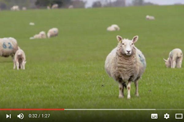 映画のキャストは白い羊たちだけ。他には誰もいない(スクリーンショット)