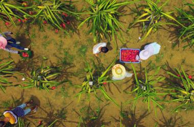 8月、中華人民共和国広西チワン族自治区柳州市で、ドラゴンフルーツを収穫する農家(STR/AFP/Getty Images)