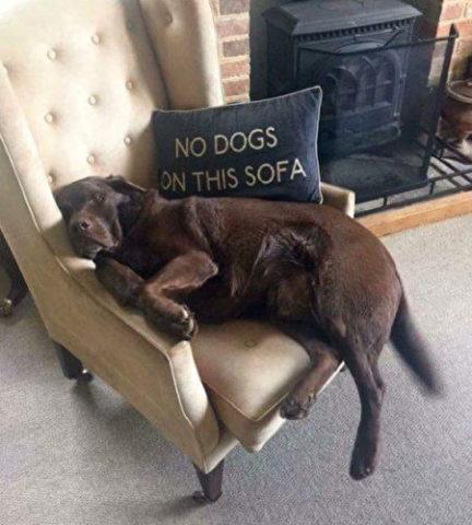 犬はこのソファーに座っちゃダメだって?そんなの知ったこっちゃない (reddit)