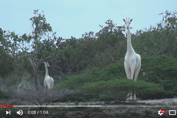 珍しい白いキリンが発見された(YouTube スクリーンショット)