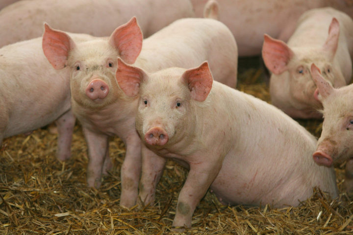 養豚場の豚、参考写真(K-State Research and Extension)