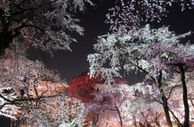 ライトアップされ昼とは違う艶やかな美しさを見せる桜もまた趣がある(京都府)