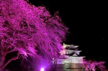 小田原城の「天守閣」の白と「桜」の淡紅が作り出す美しいコントラストはお花見気分を一層引き立たるフォトジェニックなスポットとしても抜群の人気を誇っている(小田原市)