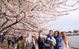 米国首都ワシントンDCで今桜が満開を迎えている。全米桜まつりは4月15日まで開催。(李莎/大紀元)