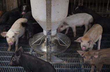 米誌サイエンスによると、中国では4.3億頭以上の豚がアフリカ豚コレラ(ASF)に感染した(NICOLAS ASFOURI/AFP/Getty Images)