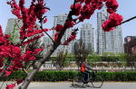2016年エイプリルフールの傑作に新華社のコメント。春の花が咲く道路脇を自転車で走る女性。2011年4月撮影(FREDERIC J. BROWN/AFP/Getty Images)