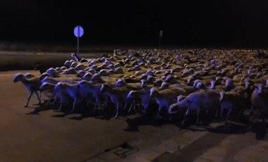 スペイン北部の都市ウエスカに7日、見張り番の羊飼いが居眠りの熟睡中に1300頭羊の群れが市中心街まで行進し散策した事件が起こった。(ネット写真)
