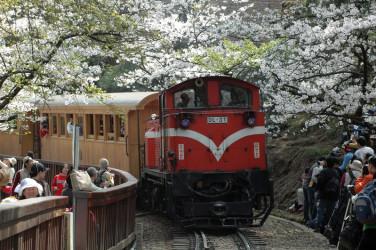 満開の桜の下を通る阿里山の鉄道(大紀元)